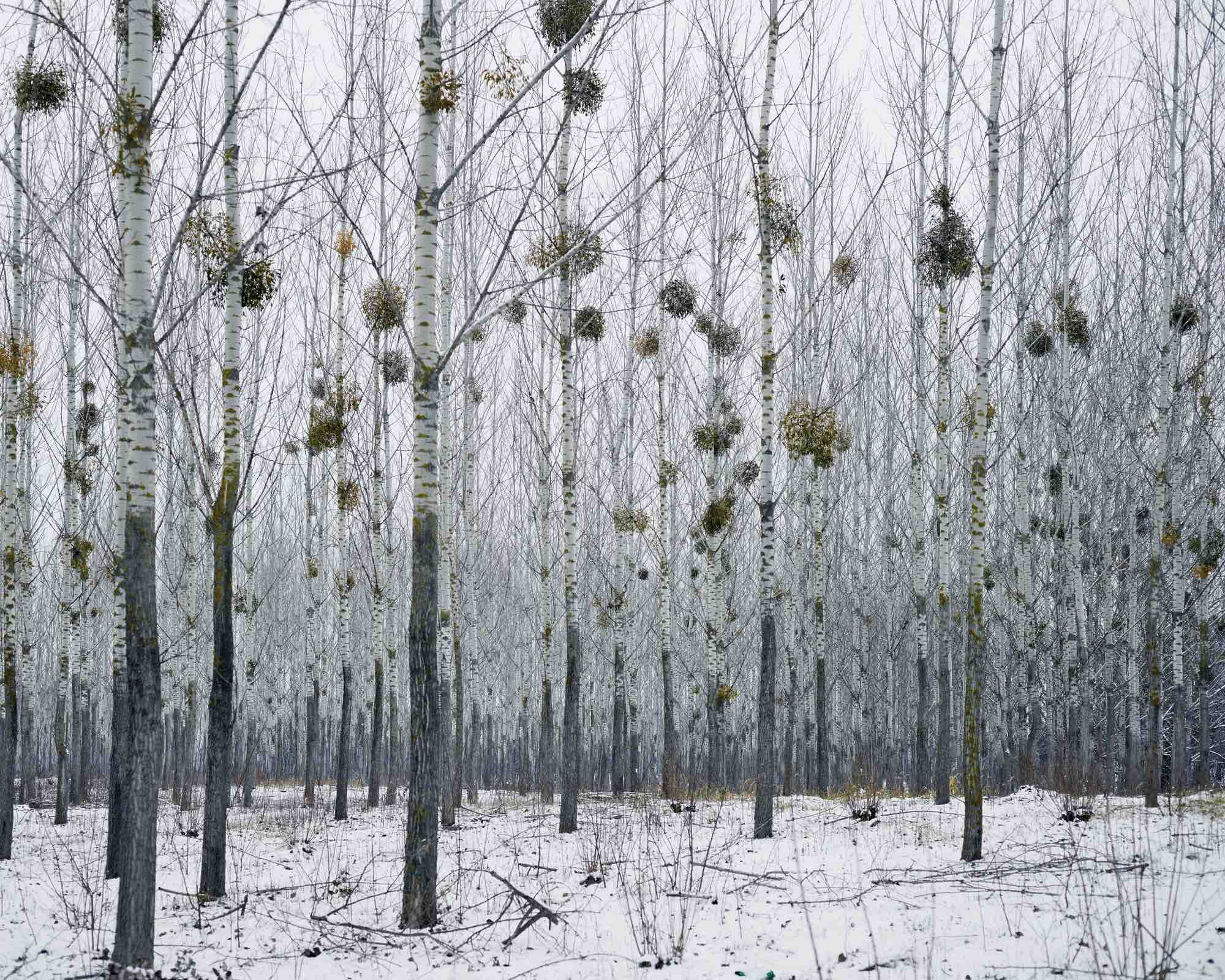 Forest With Mistletoe, West Romania, from the series Notes for an Epilogue, 2011-2015 © Tamas Dezso. Courtesy of The Photographers' Gallery.