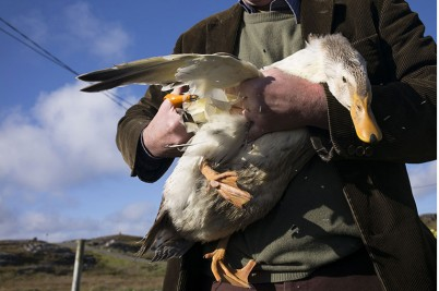Clipping duck-wings. 2015. . Scotland. Isle of Harris, Outer Hebrides © Olivia Arthur/Magnum Photos and Philipp Ebeling