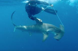 Sharks - The Killer Myth