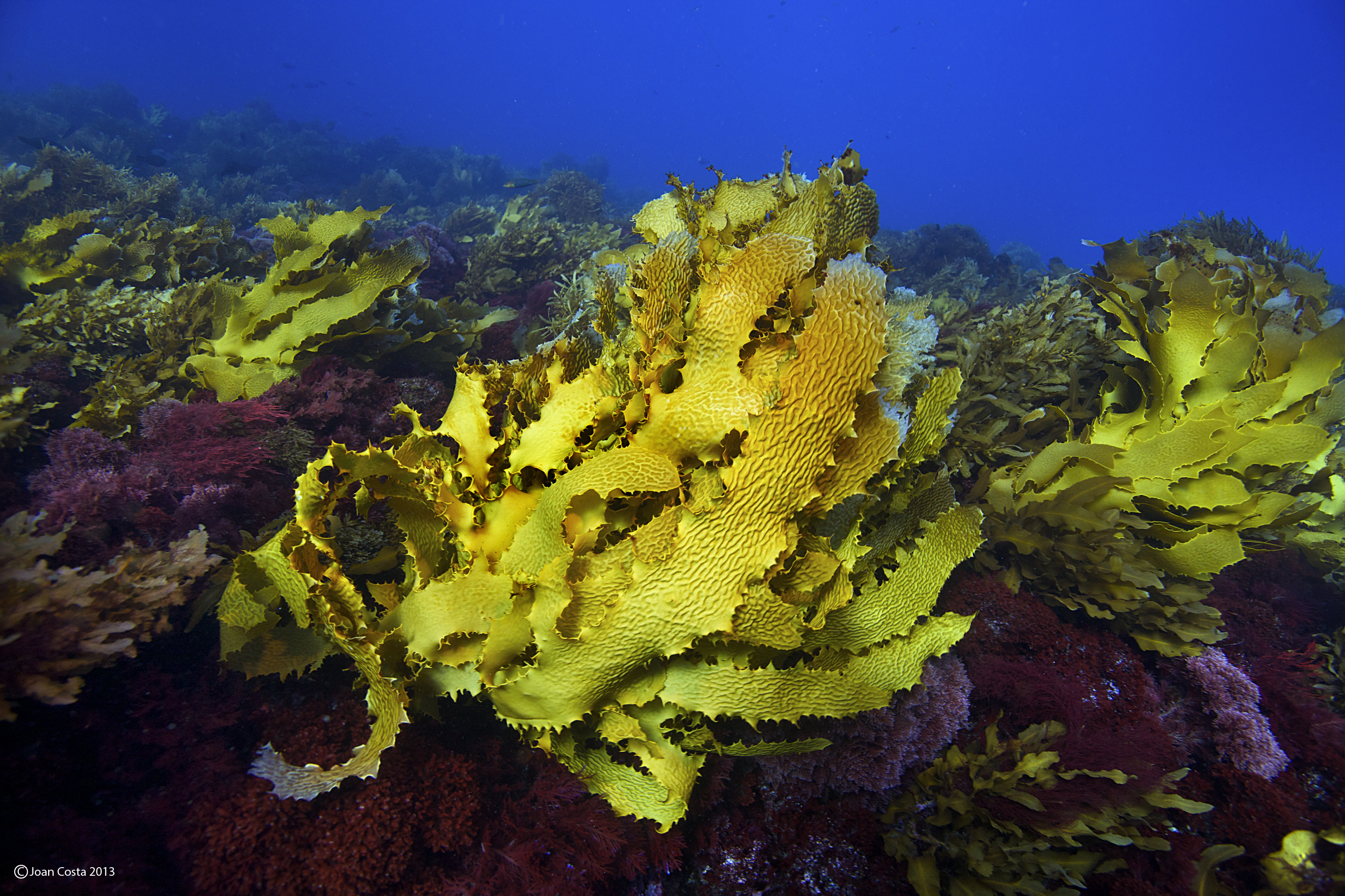 5-Australian_kelp_photo_J_Costa2013