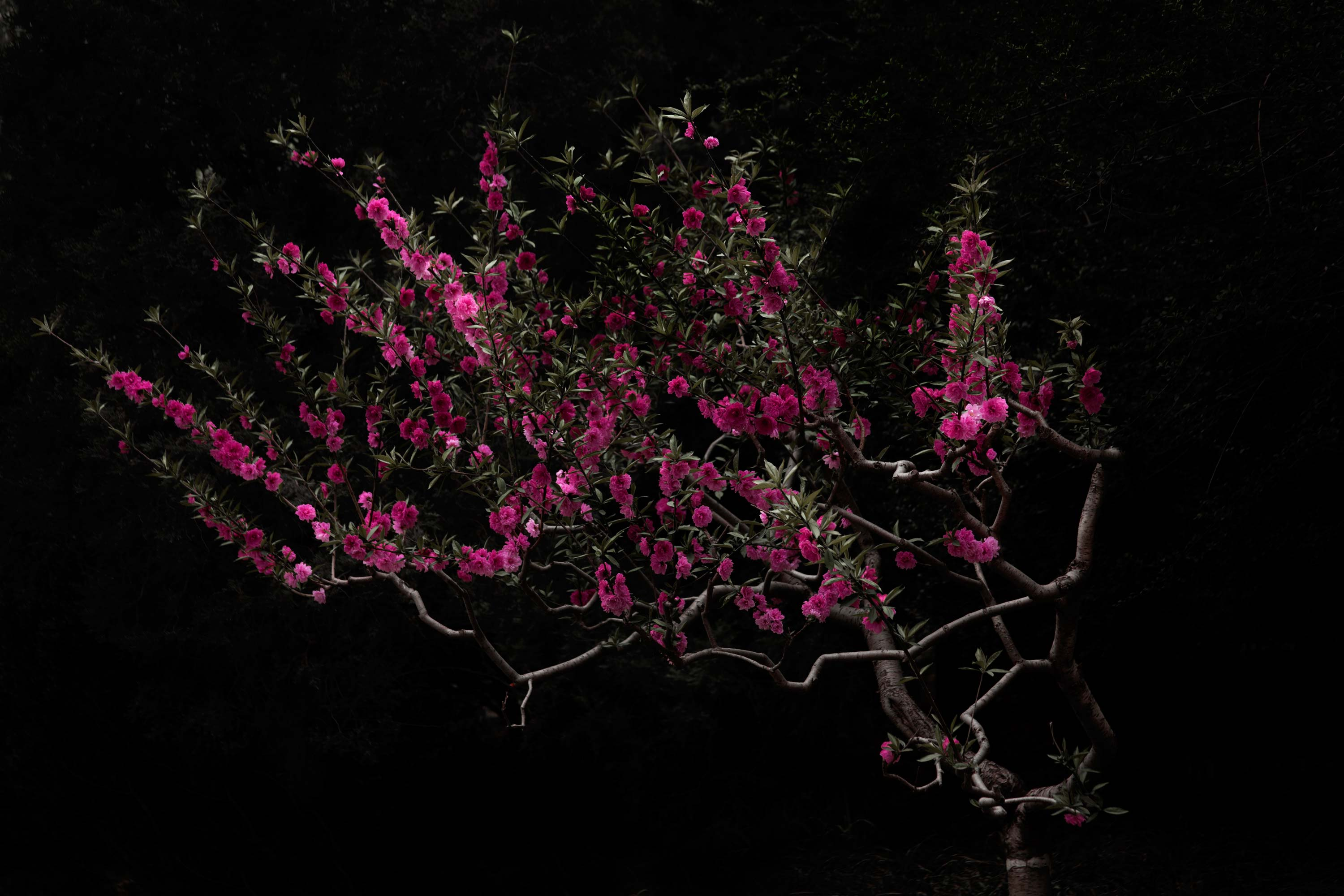 ©-Shen-Wei,-Peach-Tree,-2016,-Chromogenic-print.-Courtesy-of-Flowers-Gallery,-London-and-New-York