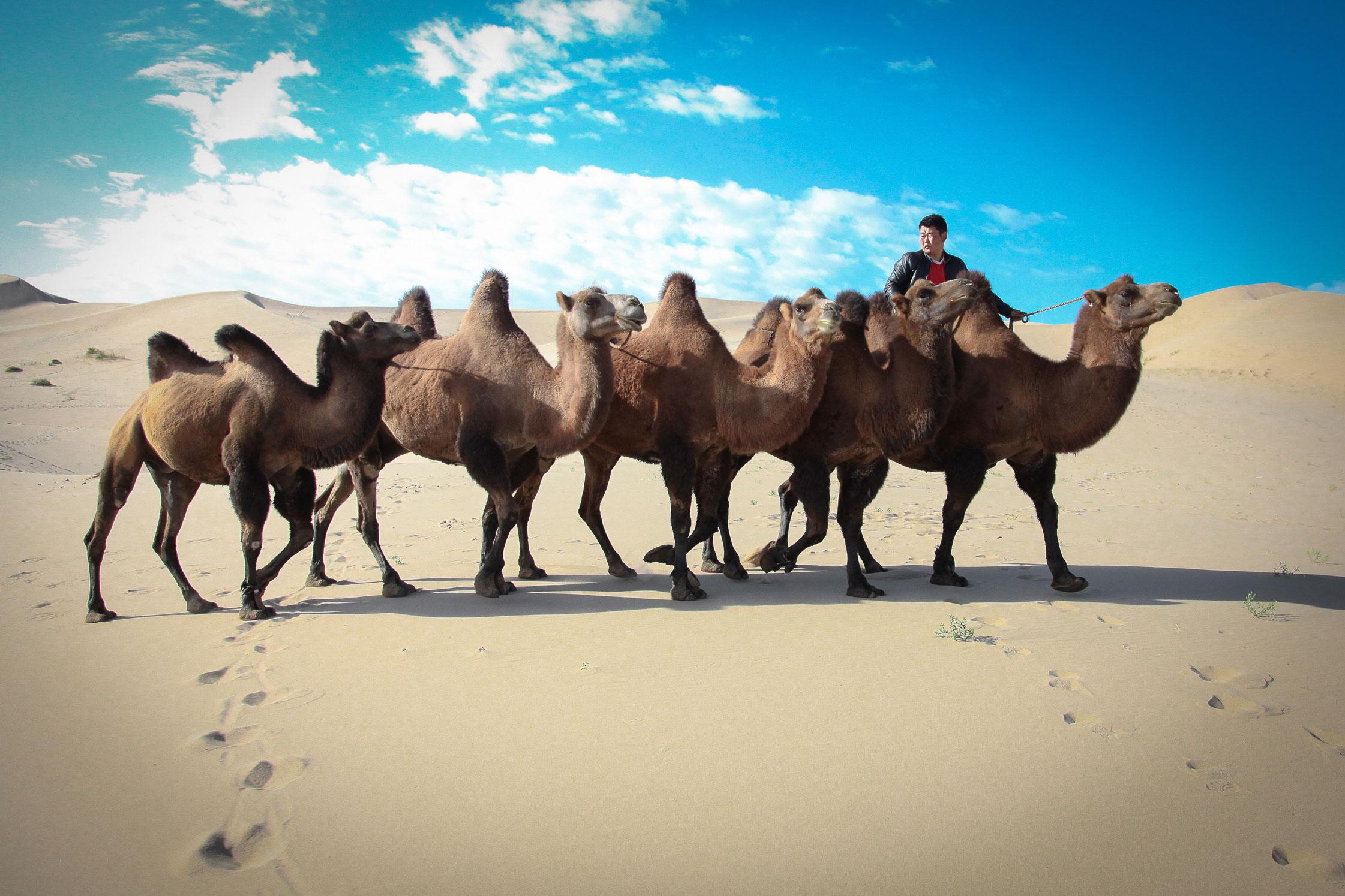 Camel herders, Gobi, Mongolia.
