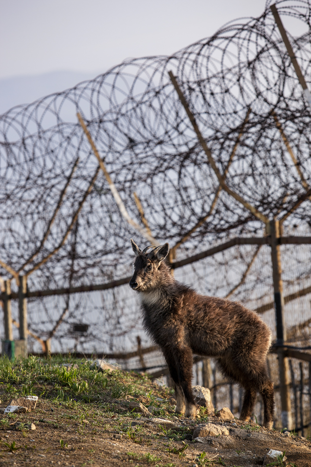 Endangered mountain goat stands in front of the barbed wire fence of the SSL, which is the southern border of the DMZ.