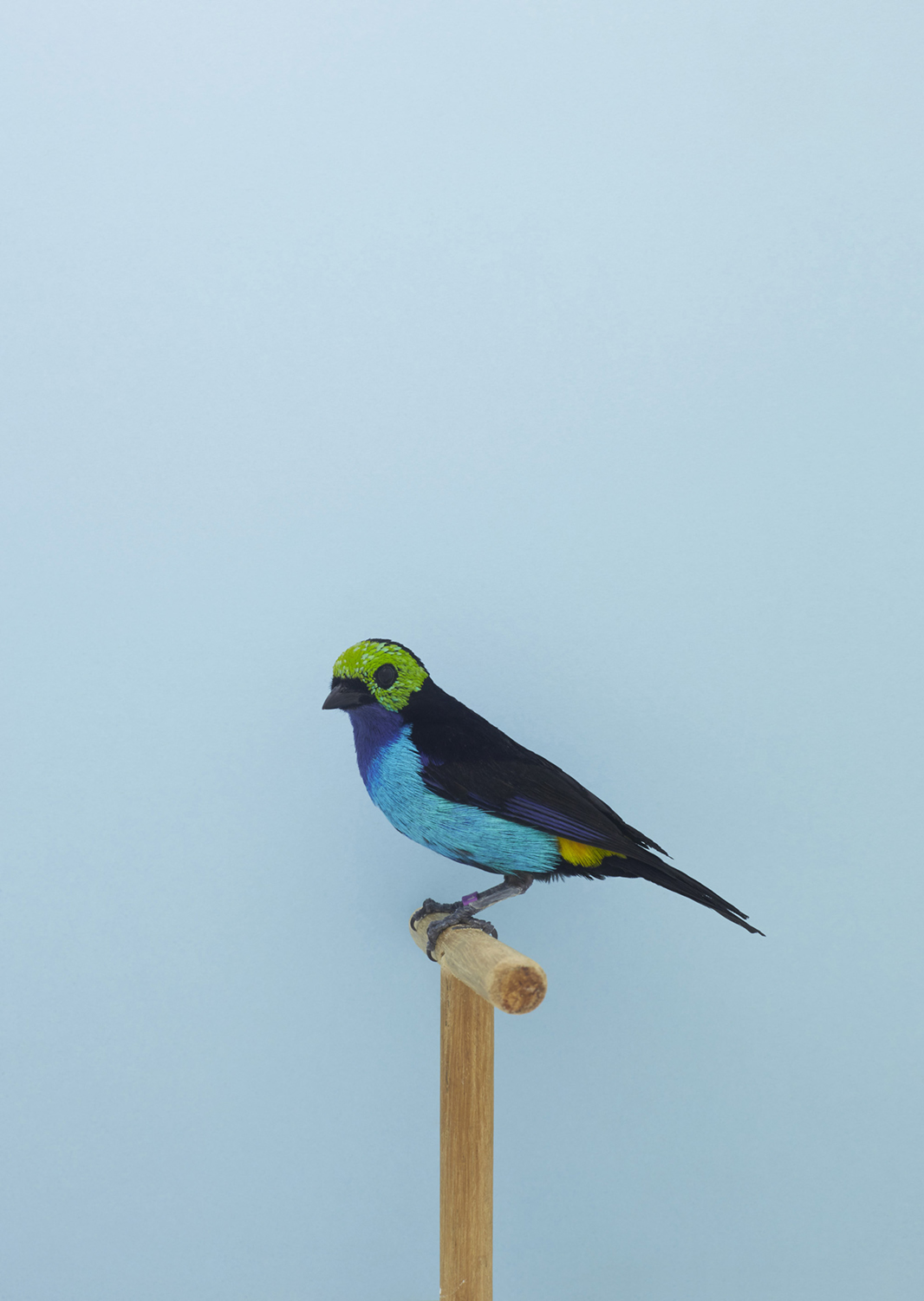 A60W9781-Paradise tanager
