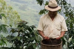 Don Leo standing next to a coffee bush with a basket of freshly picked coffee berries